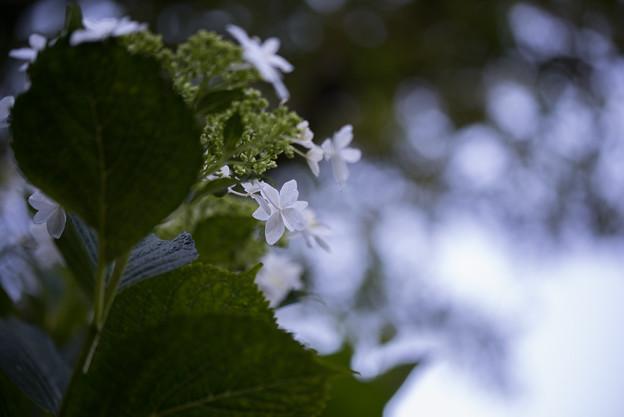 相模原北公園【紫陽花: ミハラヤエ】6