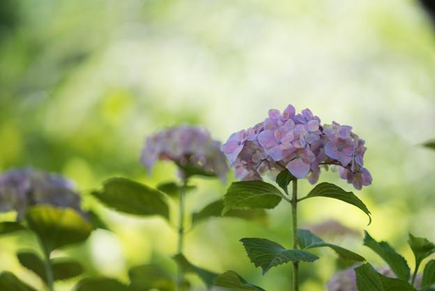 相模原北公園【紫陽花: センセーション】2