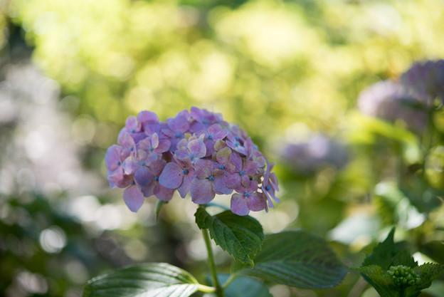 相模原北公園【紫陽花: センセーション】4