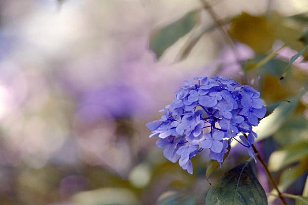 相模原北公園【紫陽花: 西洋アジサイ(青)】4銀塩