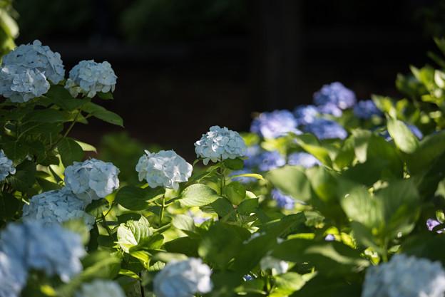 相模原北公園【紫陽花: シロテマリ】1