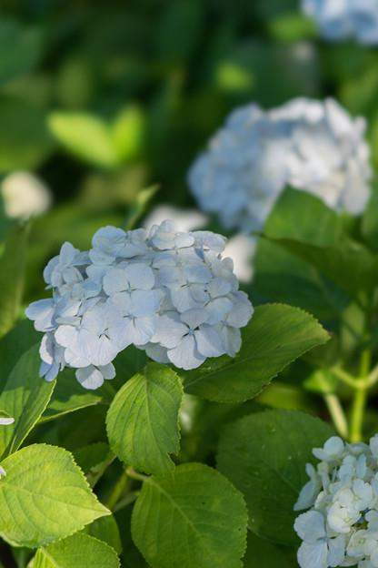 相模原北公園【紫陽花: シロテマリ】4