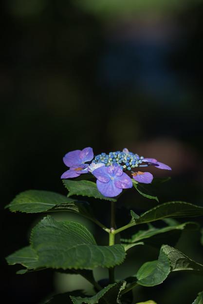 相模原北公園【紫陽花: フラウ・ノブコ】1