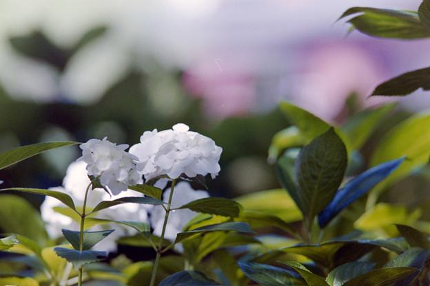 相模原北公園【紫陽花: 西洋アジサイ(白)】4銀塩
