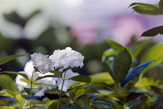 Photos: 相模原北公園【紫陽花: 西洋アジサイ(白)】4銀塩