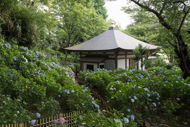 妙楽寺【境内左側の紫陽花の群生】2