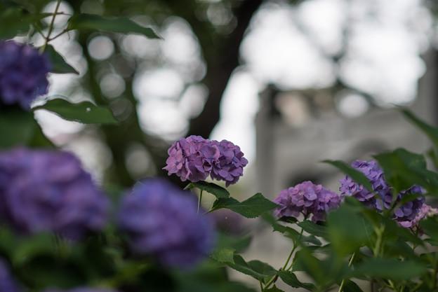 妙楽寺【紫陽花のアップ】3
