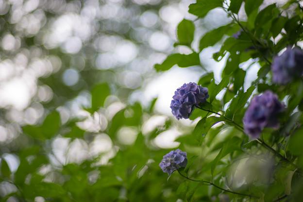 生田緑地【あじさい山の紫陽花】8