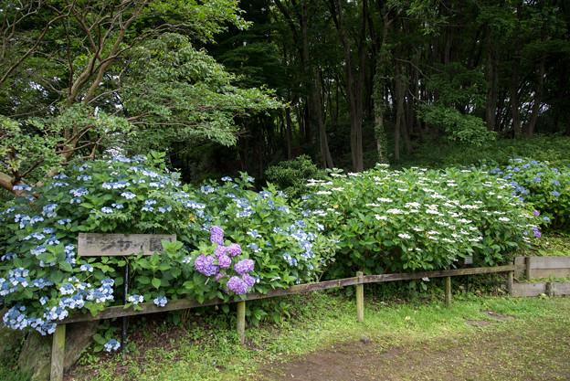 薬師池公園【アジサイ園】