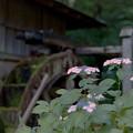 薬師池公園【菖蒲田付近のアジサイ】2銀塩