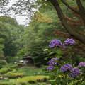 薬師池公園【菖蒲田付近のアジサイ】3