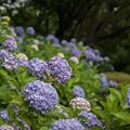 薬師池公園【えびね苑:青色のアジサイ】1