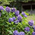 薬師池公園【えびね苑:青色のアジサイ】2
