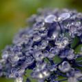 薬師池公園【えびね苑:ウズアジサイ】6銀塩