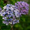 庭の花【ウズアジサイ】1