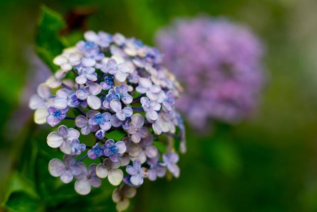庭の花【ウズアジサイ】2