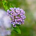 庭の花【ウズアジサイ】3