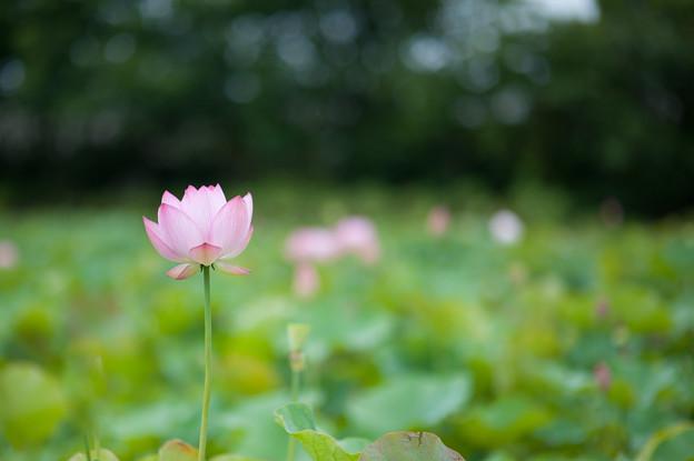 花菜ガーデン【蓮の花:大賀蓮】1