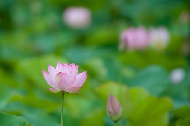 花菜ガーデン【蓮の花:大賀蓮】2
