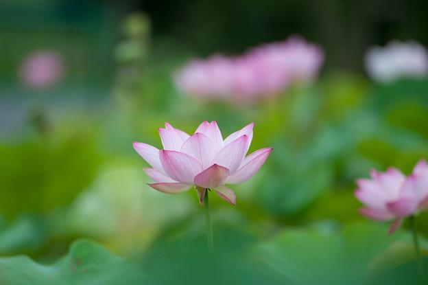 花菜ガーデン【蓮の花:大賀蓮】3