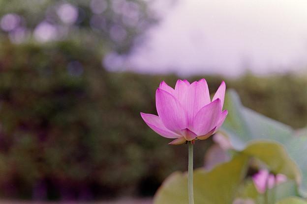 花菜ガーデン【蓮の花:大賀蓮】銀塩1