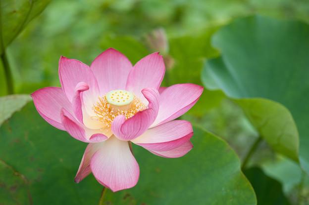 花菜ガーデン【蓮の花:小椋大黒】