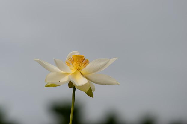 花菜ガーデン【蓮の花:太白蓮】