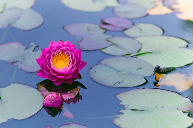 花菜ガーデン【赤色の睡蓮】2銀塩