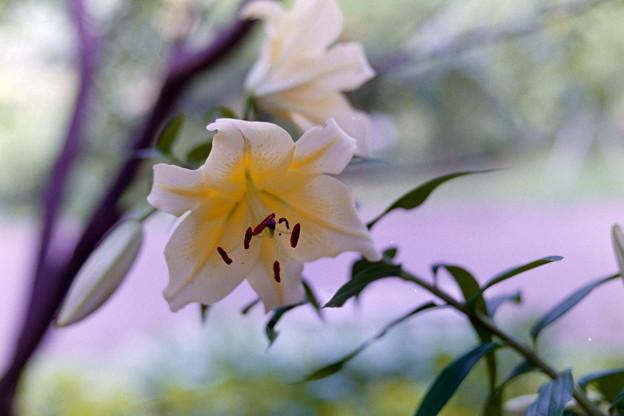 花菜ガーデン【ユリ】6銀塩