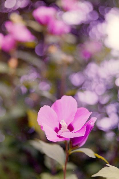 花菜ガーデン【ムクゲ】5銀塩