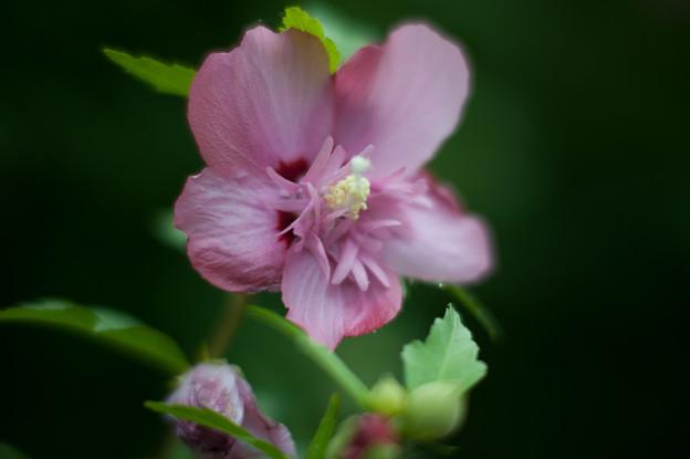 花菜ガーデン【ムクゲ】7