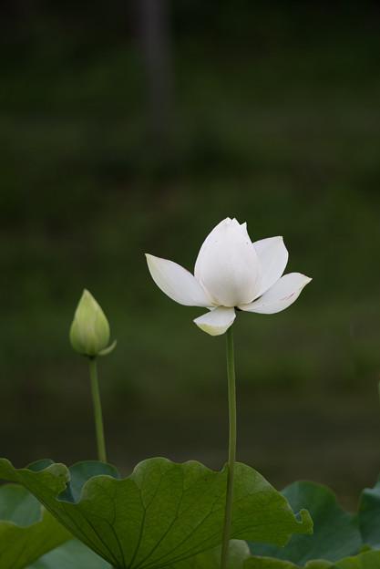 昭和記念公園【こもれびの里の蓮】3