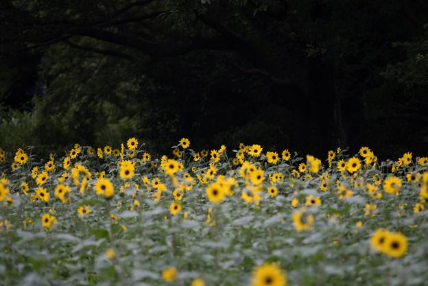 昭和記念公園【花の丘のひまわり畑】1