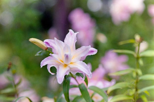 昭和記念公園【八重咲きのユリ:オリエンタルハイブリット・アスカ】2銀塩