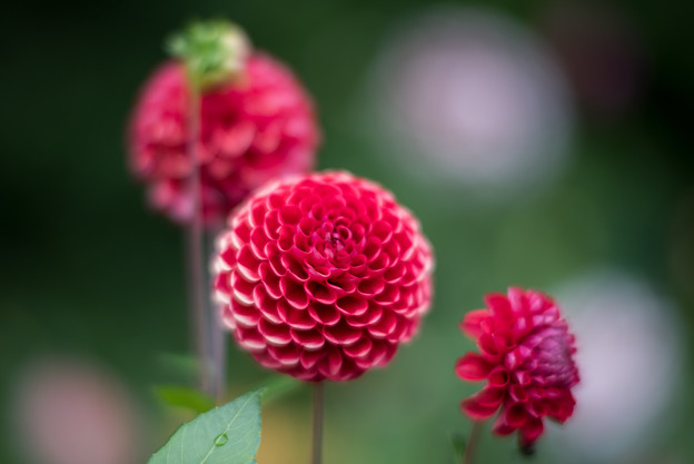 昭和記念公園【ダリアの庭】4