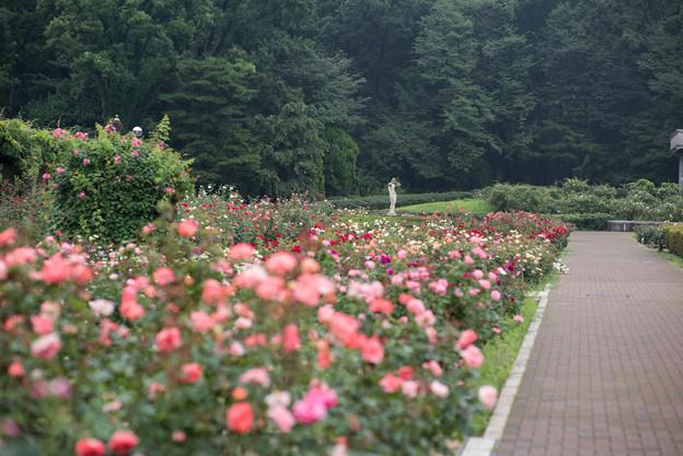 神代植物公園【7月のバラ園の様子】2