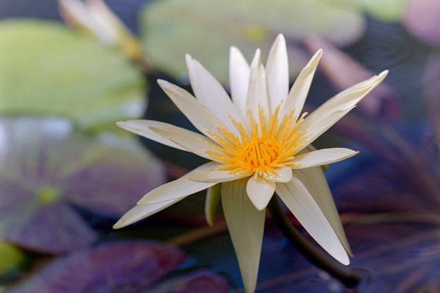 神代植物公園【熱帯スイレン:トレイル・ブレイザー】銀塩