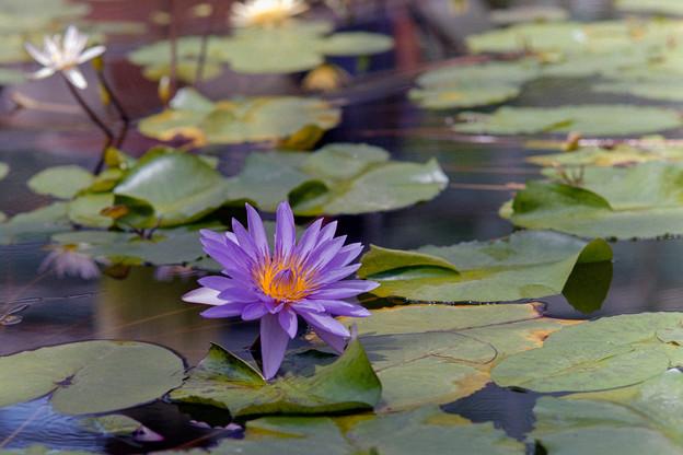 神代植物公園【熱帯スイレン:リンジー・ウッズ】銀塩