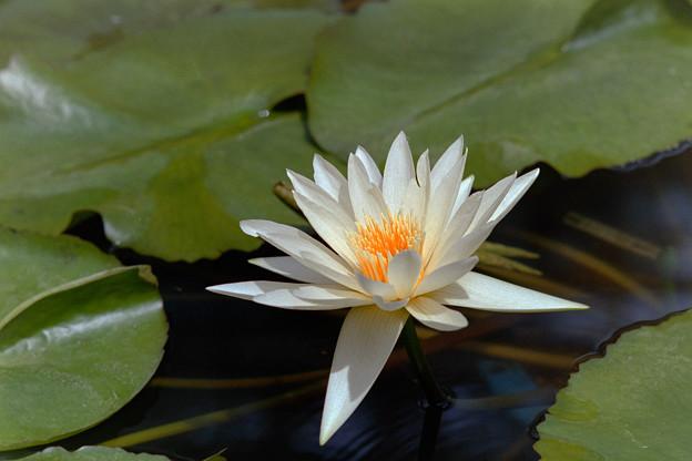 神代植物公園【熱帯スイレン:ホワイト・ディライト】銀塩