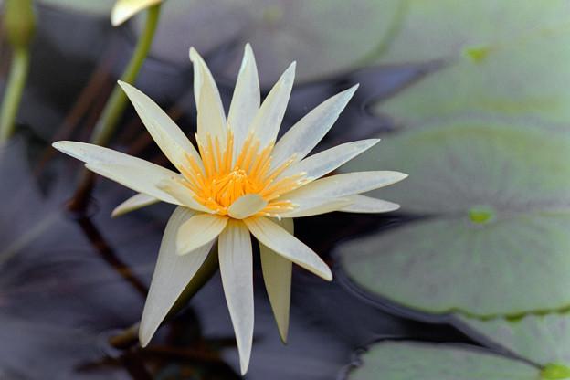 神代植物公園【熱帯スイレン:ドウベン】銀塩
