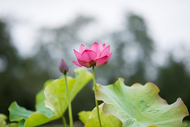 神代植物公園【蓮の花:蜀紅蓮】1