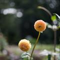 Photos: 神代植物公園【ダリア:グレンバンクハニカム】1