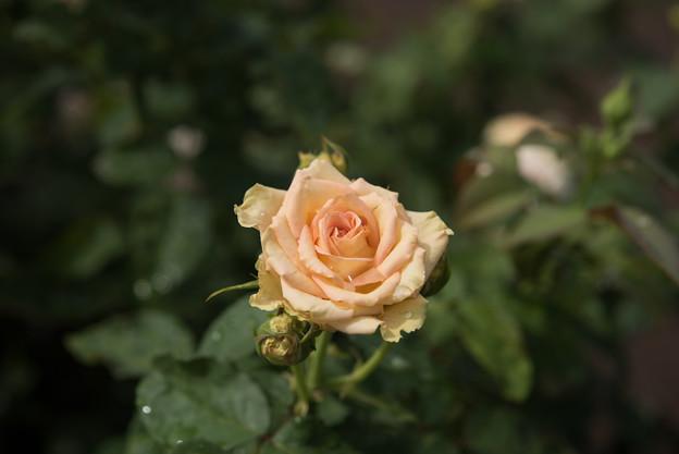 神代植物公園【薔薇:エメラルド・アイル】2