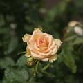 Photos: 神代植物公園【薔薇:エメラルド・アイル】2