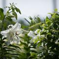 Photos: 神代植物公園【ユリ】2