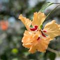 Photos: 神代植物公園【コロカシア・ファラックス】