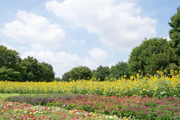 昭和記念公園【ヒマワリ:サンフィニティ】1