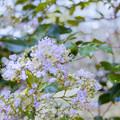 Photos: 昭和記念公園【サルスベリ】銀塩