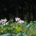 花菜ガーデン【田んぼたんぼの蓮】2