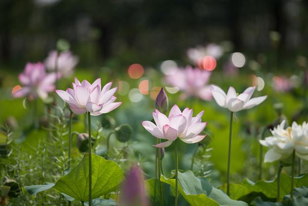 花菜ガーデン【田んぼたんぼの蓮】3